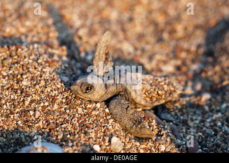 Loggerhead Sea Turtle (Caretta caretta), hatchling, Lycian Coast, Turkey, Asia Minor - Stock Photo