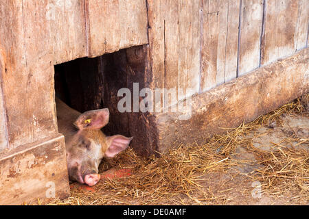 Swiss pig farm stock photo 20341130 alamy for Domestica in svizzera