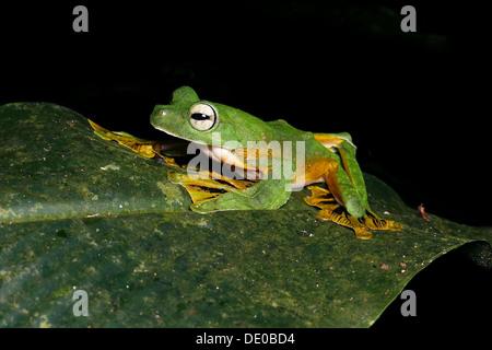 Rhacophorus nigropalmatus wallace flying frog borneo - Stock Photo