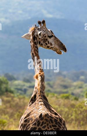 Masai giraffe (Giraffa camelopardalis) - Stock Photo