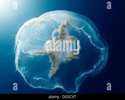 Moon jellyfish, Common jellyfish (Aurelia aurita), Baltic Sea, off Darss, Mecklenburg-Western Pomerania