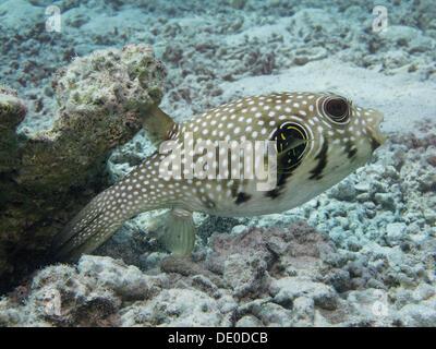Black-spotted Pufferfish (Arothron nigropunctatus), Mangrove Bay, Red Sea, Egypt, Africa - Stock Photo