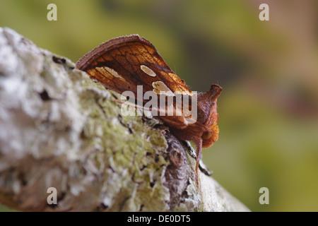 Gold spot moth  -  Plusia festucae - Stock Photo