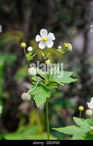 Japanese anemone, Thimbleweed (Anemone hupehensis), invasive plant, Big Island, Hawaii, USA - Stock Photo