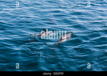 Long-beaked Common Dolphins (Delphinus capensis), dolphin watching, open sea, Atlantic Ocean, Lagos, Algarve, Portugal, - Stock Photo