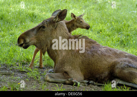 Moose (Alces alces) cow with a small calf lying on the grass, Hellabrunn Zoo, Munich, Bavaria, Germany - Stock Photo