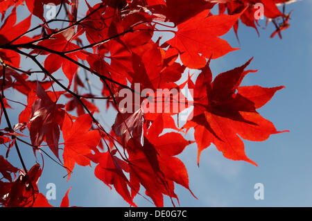 Downy Japanese Maple or Fullmoon Maple (Acer japonicum) with red autumn colouring - Stock Photo