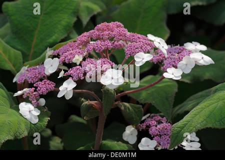 Large-leaved scabrous Hydrangea (Hydrangea aspera 'Macrophylla') - Stock Photo