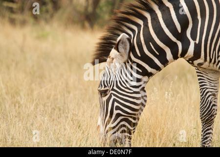 Grevy's Zebra [Equus grevyi], Samburu National Park, Kenya. - Stock Photo