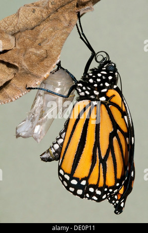 Monarch Butterfly Danaus plexippus adult just emerged from chrysalis & drying Eastern USA - Stock Photo