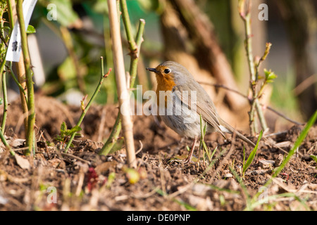 Robin (Erithacus rubecula), on the ground - Stock Photo