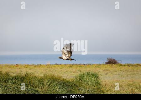 Immature bald eagle in flight over salt marsh near the sea in Alaska summer - Stock Photo