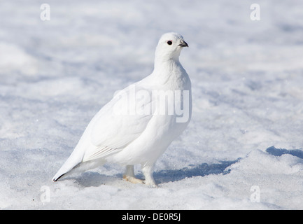 Female Willow Grouse or Willow Ptarmigan (Lagopus lagopus), in winter plumage, Haines Pass, British Columbia, B, - Stock Photo