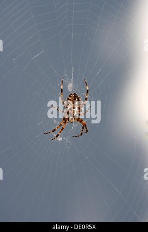 European garden spider, diadem spider, cross spider or cross orbweaver (Araneus diadematus) sitting in spider's - Stock Photo