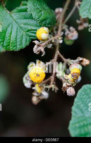 Yellow Himalayan raspberry (Rubus ellipticus), invasive species, Big Island, Hawaii, USA - Stock Photo