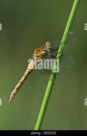 Female of Spotted Darter (Sympetrum depressiusculum), Skimmer family (Libellulidae) - Stock Photo