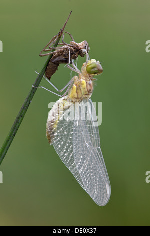Newly-hatched Spotted Darter (Sympetrum depressiusculum) with Exuviae (empty larval case) - Stock Photo
