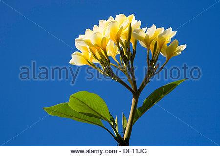 Frangipani flowers (Plumeria), Bali, Indonesia, Southeast Asia, Southeast Asia - Stock Photo