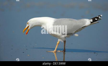 Herring Gull (Larus argentatus), calling, North Sea, Duene, Heligoland, Schleswig-Holstein