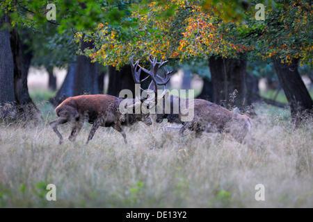 Red deer (Cervus elaphus), rutting stags, fighting, Jaegersborg, Denmark, Scandinavia, Europe - Stock Photo