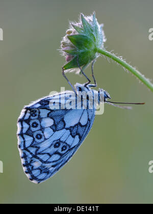 Marbled White (Melanargia galathea), resting on a Field Scabious (Knautia arvensis), covered with dew drops, Biosphaerengebiet - Stock Photo