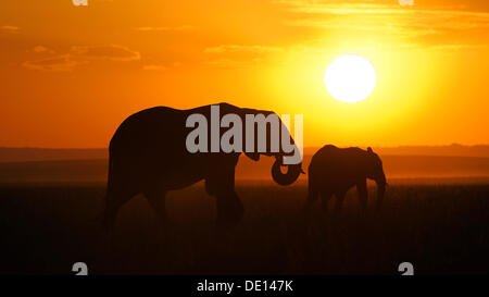 African elephant (Loxodonta africana), elephants at sunset, Masai Mara National Reserve, Kenya, East Africa, Africa - Stock Photo