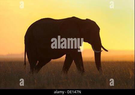 African elephant (Loxodonta africana) at sunset, Masai Mara National Reserve, Kenya, East Africa, Africa - Stock Photo