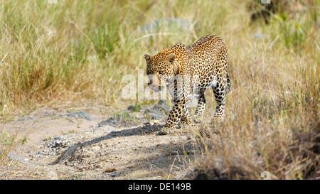 Leopard (Panthera pardus), Masai Mara National Reserve, Kenya, Africa - Stock Photo