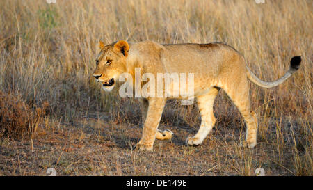 Lion (Panthera leo), young male in the morning light, Masai Mara National Reserve, Kenya, Africa - Stock Photo
