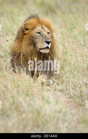 Lion (Panthera leo), old male, portrait, Masai Mara National Reserve, Kenya, Africa - Stock Photo