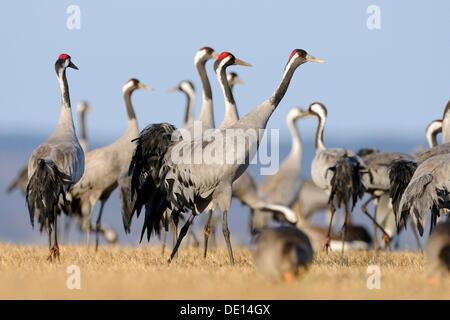 Common or Eurasian Cranes (Grus grus), large group at roost, Lake Hornborga, Hornborgasjoen, Vaestergoetland, Sweden - Stock Photo