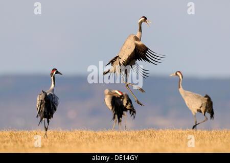 Common or Eurasian Cranes (Grus grus), dancing bird at roost, Lake Hornborga, Hornborgasjoen, Vaestergoetland, Sweden - Stock Photo