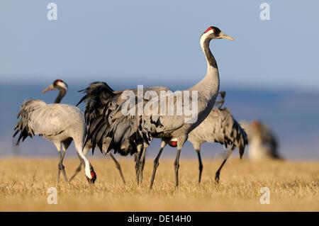 Common or Eurasian Cranes (Grus grus), at roost, Lake Hornborga, Hornborgasjoen, Vaestergoetland, Sweden, Scandinavia, - Stock Photo