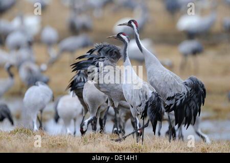 Common or Eurasian Cranes (Grus grus), at roost, dominant breeding pair striding at front, Lake Hornborga, Hornborgasjoen - Stock Photo