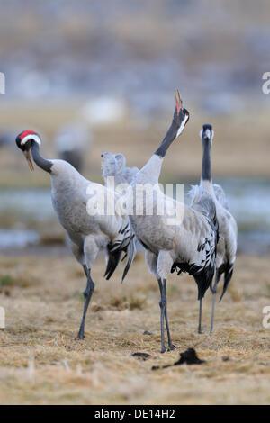 Common or Eurasian Cranes (Grus grus), at roost, birds calling, Lake Hornborga, Hornborgasjoen, Vaestergoetland, - Stock Photo