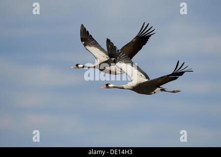 Common or Eurasian Cranes (Grus grus), breeding pair in flight, Lake Hornborga, Hornborgasjoen, Vaestergoetland, - Stock Photo