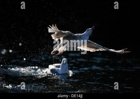 European Herring Gull (Larus argentatus), juvenile flying over water, backlight, Flatanger, Nordtrondelag, Norway, - Stock Photo