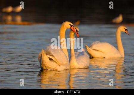 Mute Swan (Cygnus olor), pair during a courtship ritual, in the last light of the day, Donauauen, Danube wetlands, - Stock Photo