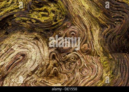 Root wood of an old oak tree (Quercus), detailed view, Moenchbruch nature reserve, Hesse - Stock Photo