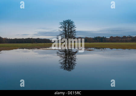 Several black alder trees (Alnus glutinosa) with reflections in flooded floodplains in late autumn, Moenchbruch - Stock Photo