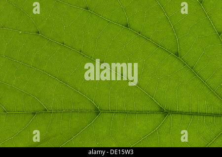Leaf structure of a Large-leaved Lime (Tilia platyphyllos) in transmitted light, detail - Stock Photo
