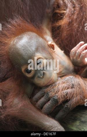A wild life shot of orangutans in captivity - Stock Photo