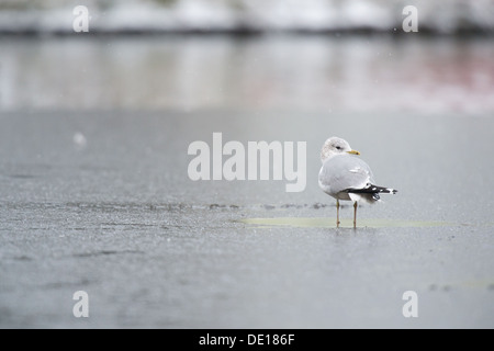 common gull in winter at the ice - Stock Photo