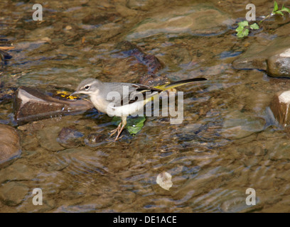 Grey Wagtail, Motacilla cinerea in a shallow river, Cornwall, UK 2013 - Stock Photo