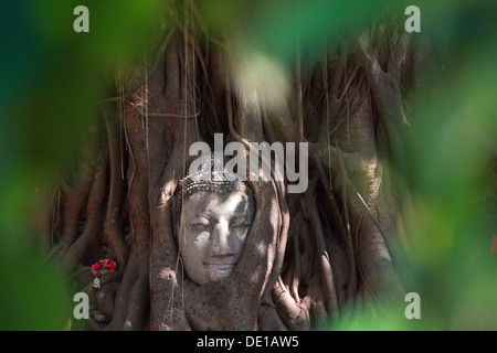 Buddha's head in banyan tree roots with little of sunlight area on head - Stock Photo