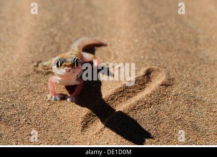 zoology / animals, reptiles, gecko, Web-footed gecko, (palmatogecko rangei), desert, Namib, Namibia, Africa, Additional - Stock Photo