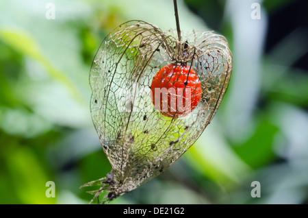 Bladder cherry, Chinese lantern (Physalis alkekengi franchetii Orange), ripe fruit, Bavaria