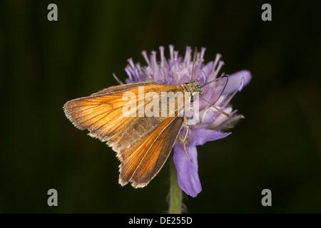 small skipper, Braunkolbiger Braundickkopffalter, Ockergelber Dickkopffalter, Thymelicus sylvestris, Hesperidae, - Stock Photo