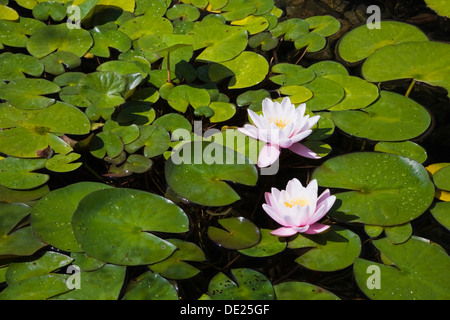 Two white and pink Water Lilies (Nymphaea) on the surface of a pond, Quebec Province, Canada - Stock Photo