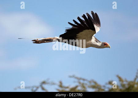 Secretary Bird (Sagittarius serpentarius) in flight, Serengeti, Tanzania, Africa - Stock Photo